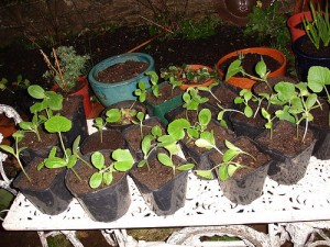 Photo of pumpkin and gourd seedlings.