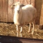 Bobbie sheep