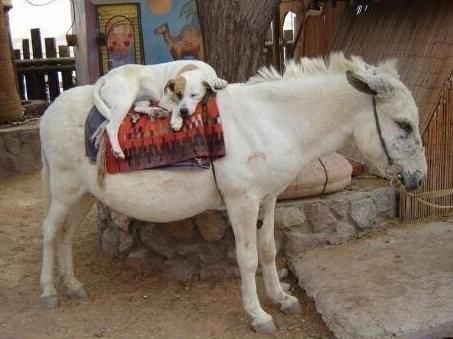 dog on donkey