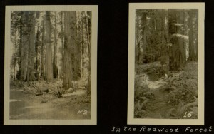 CA redwoods, 1924