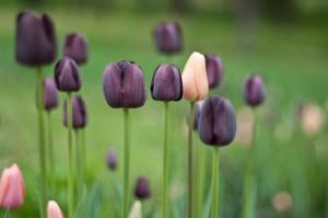 Purple Tulips by Selbe B