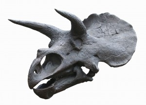 Smithsonian-Triceratops-skull-cast-0002a