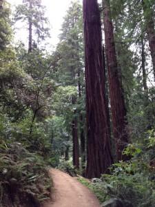 CA redwoods, 2015