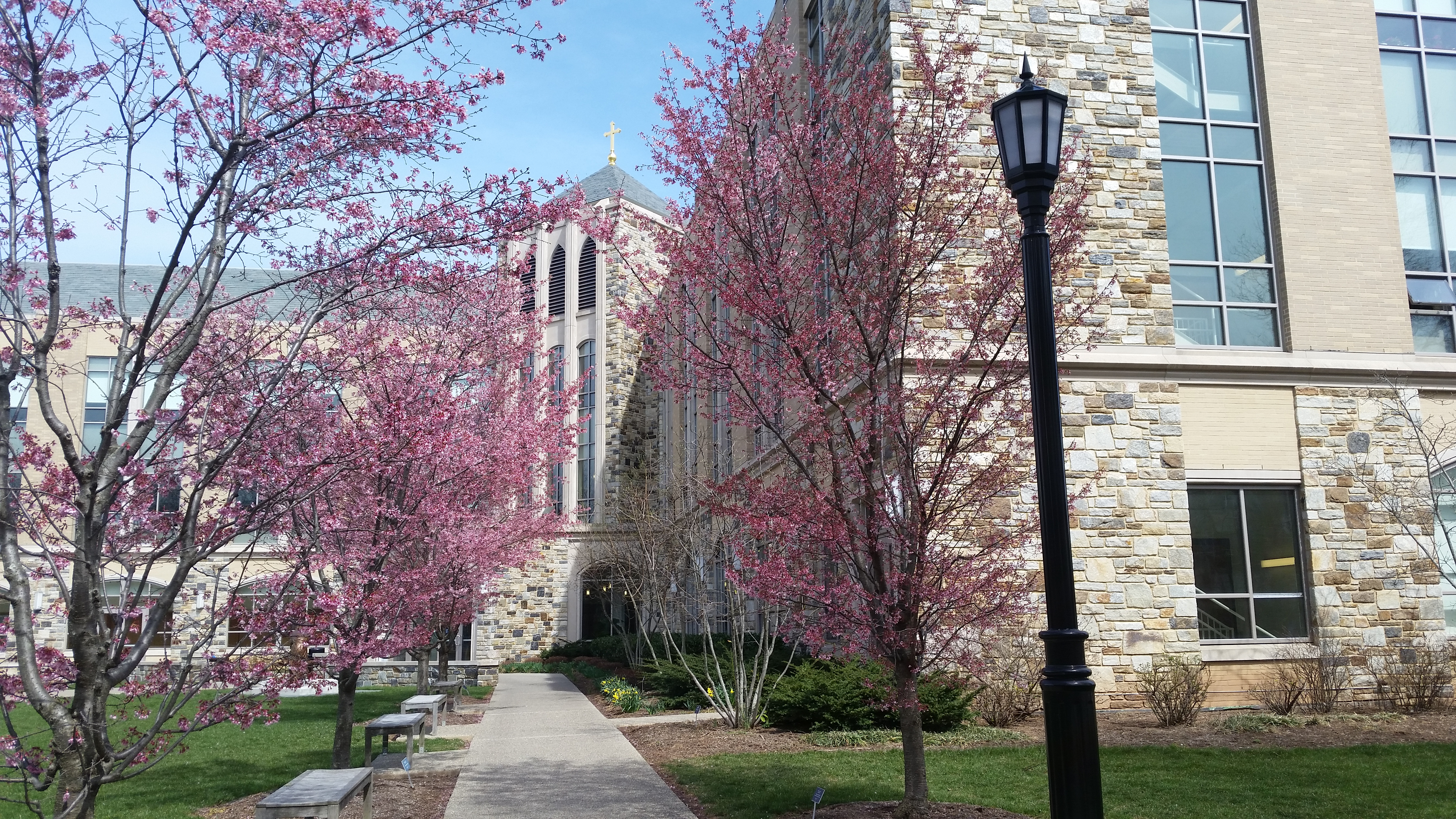 pink blossoms outside of driscoll hall