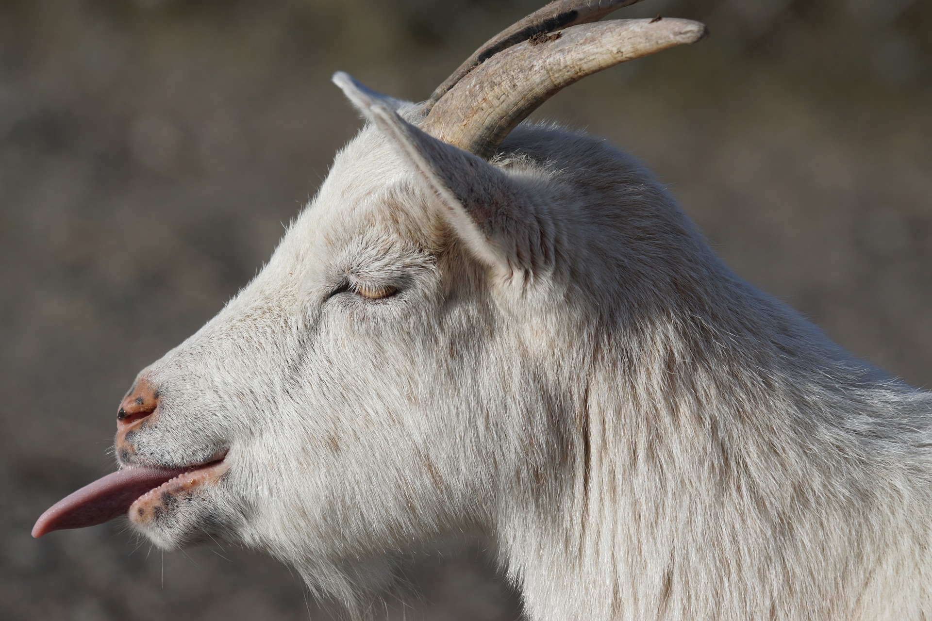 goat sticking out tongue