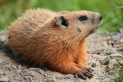 groundhogs Wikimedia Commons resize