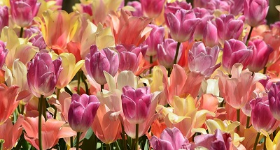 Easter Tulips resize