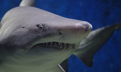 photograph of shark