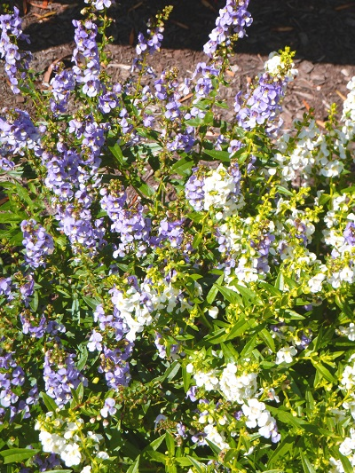 Photograph of blue and white flowers on campus