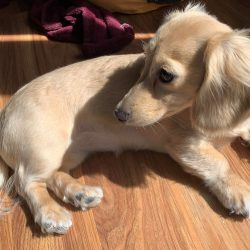 Image of a longhaired miniature English Cream dachshund.