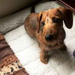 Image of a miniature wirehaired dachshund.