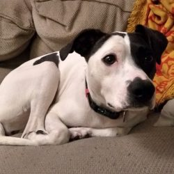 Photo of Nova, Shawn Proctor's dog (terrier).
