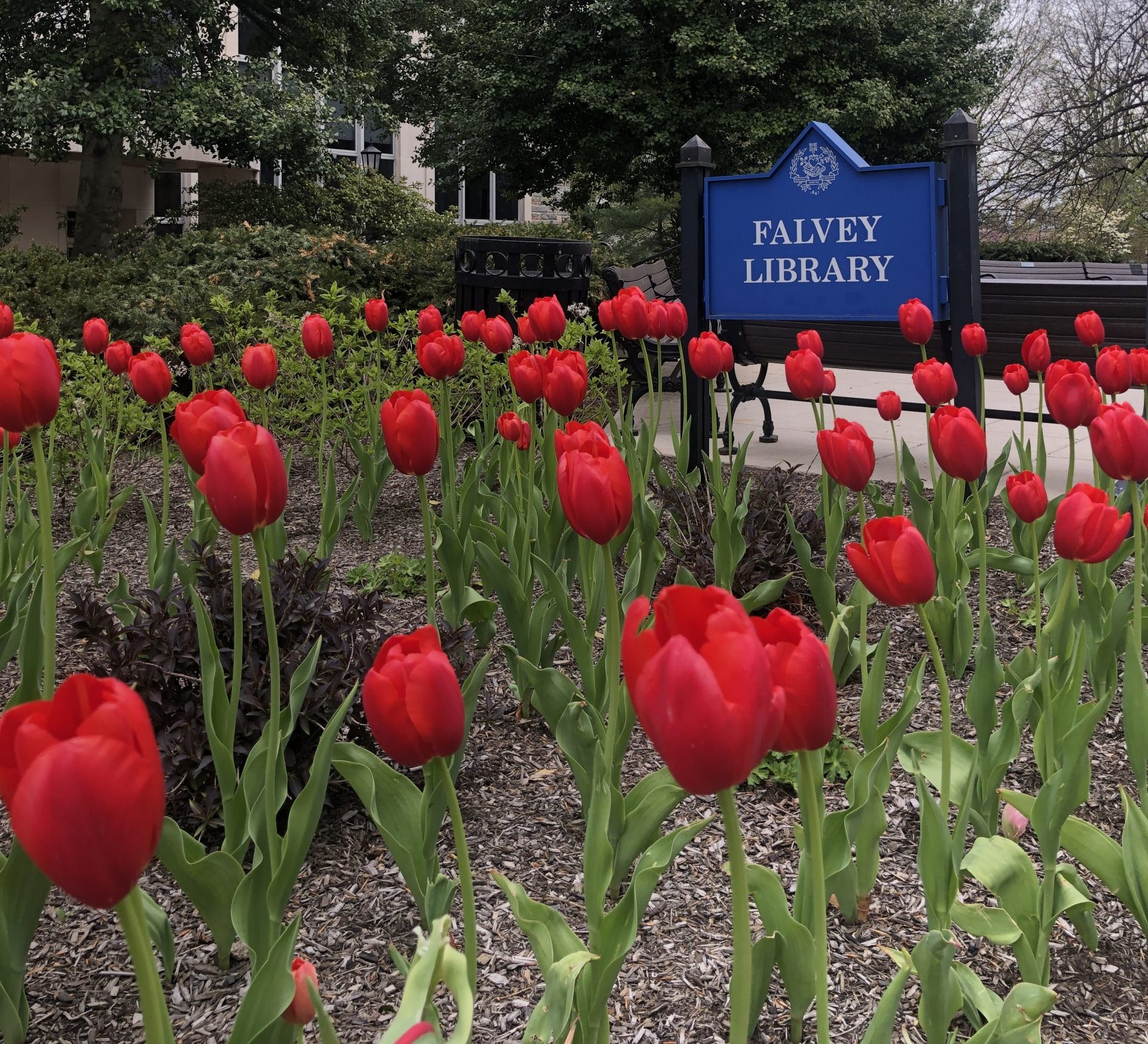 Image of red tulips blooming in front of the Falvey Memorial Library sign.