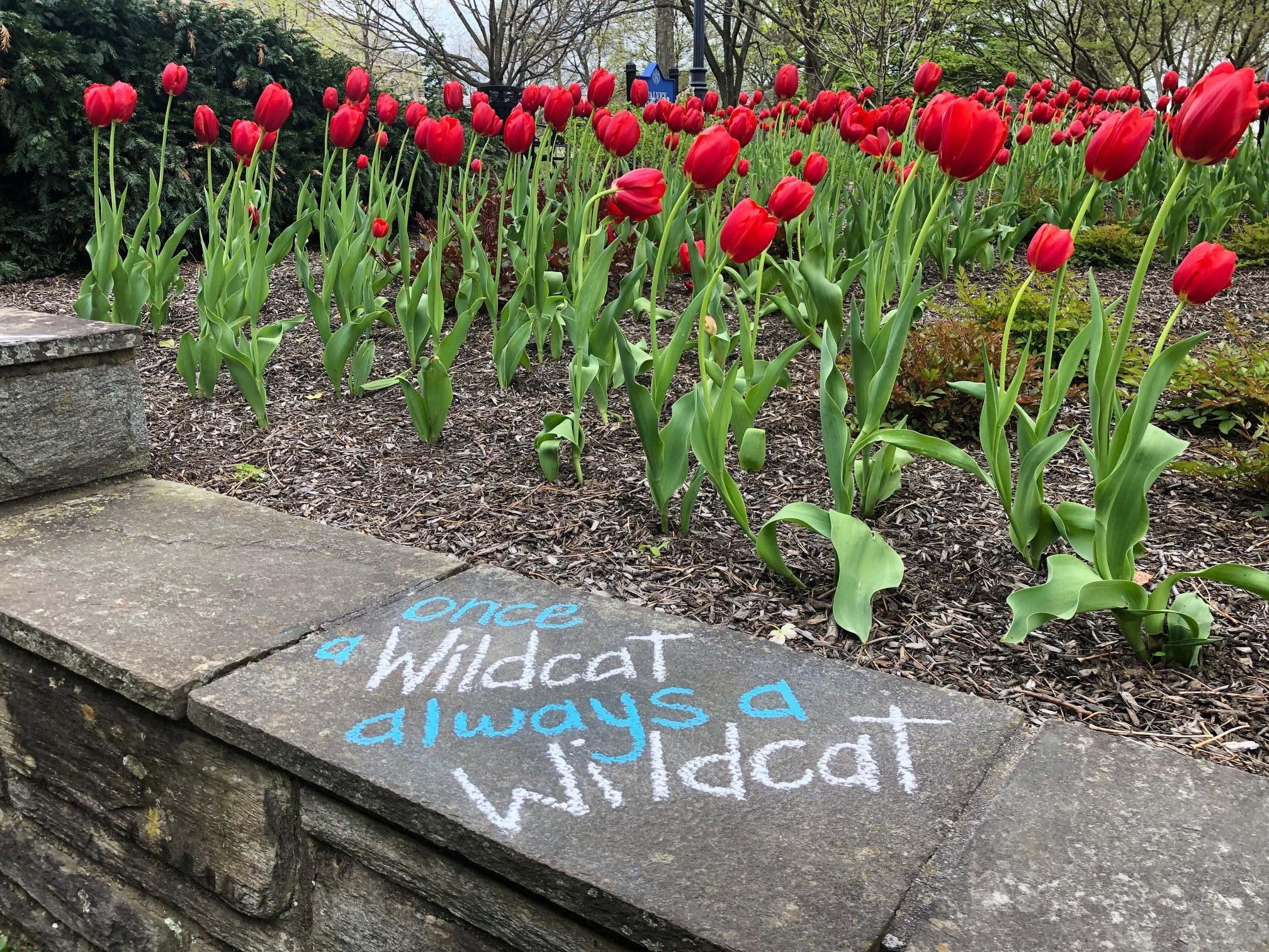 Once a Wildcat Always a Wildcat Chalk art