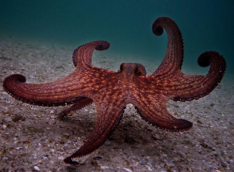 "Still of a maroon octopus from the Netflix documentary, ""My Octopus Teacher."" Image courtesy of Netflix."