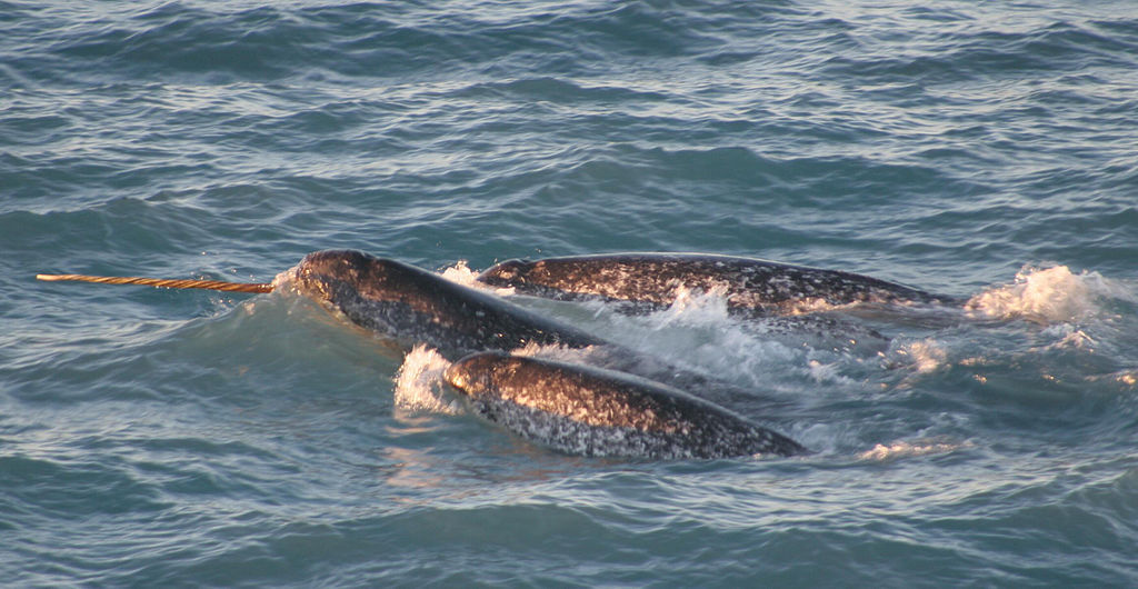 a pod of narwhals in the ocean