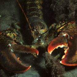 Everything But the Shark Week: Considering the Lobsters