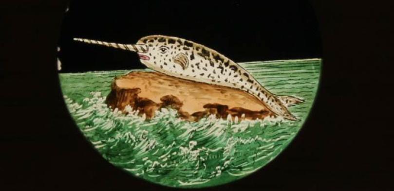 slide of a narwhal from Adam Matthew Digital
